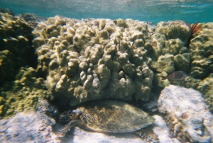 Can you spot the turtle resting beneath the coral reef?