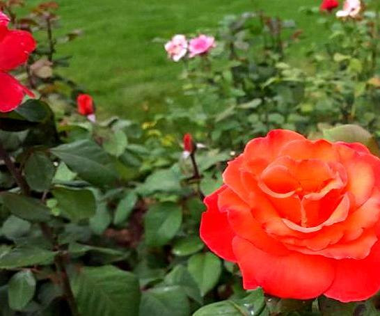Rose garden-3