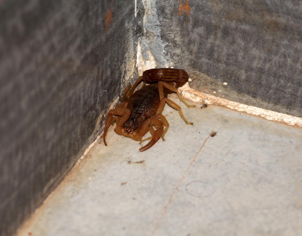 Scorpion in the bathroom