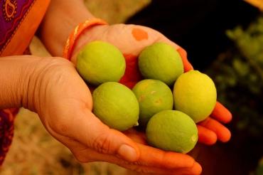 Lemons plucked