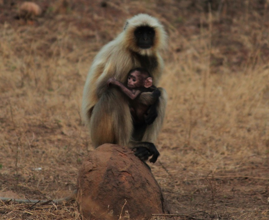 A baby and mama Langur